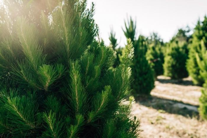 Pick out your own REAL Christmas Tree